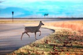 Deer crosses the Blue Ridge Parkway in NC.