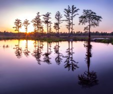 Cypress trees at Rhodes Pond, NC.