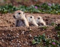 Prairie Dogs, Oklahoma.