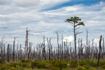 Burnt forest on the west side of the Pamlico Sound.