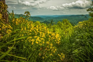 Wildflowers alongside the Blue Ridge Parkway, from a couple of weeks ago near Boone, NC.