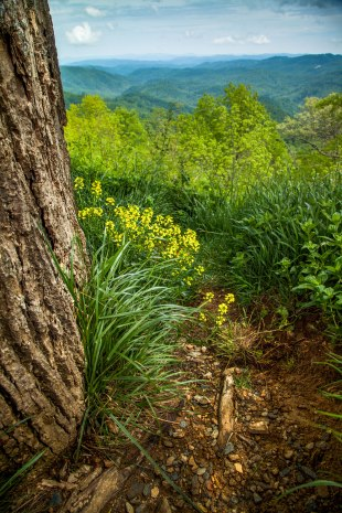 Wildflowers and a small foot path alongside the Blue Ridge Parkway, from mid May near Boone, NC.