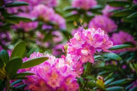 Rhododendrons and a buzzing bee in Highlands NC, mid May 2016.