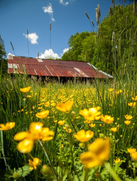 Wildflowers and an old barn in western NC, mid May 2016.