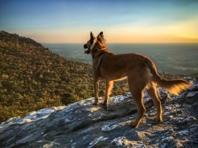 Chompy loves to hike and she knows that the best smells are at the top! From Hanging Rock State Park, late October 2016.