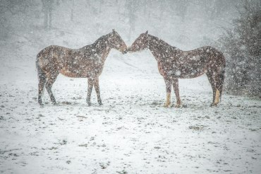 Horses rub noses while taking a break from playing during the heavy snow in Boone. 2016.