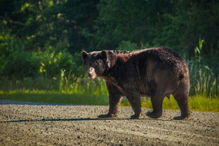Early morning as a wild NC Black Bear crosses the road, while looking over to acknowledge my presence. From a couple days ago at the Alligator River National Wildlife Refuge. 2016