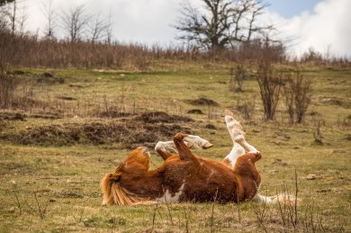 A wild pony rolls around in the grass, at Grayson Highlands State Park, April 2017
