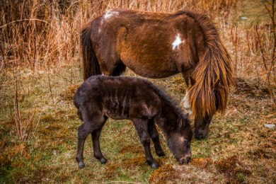 A mother pony and her young at Grayson Highlands State Park, April 2017
