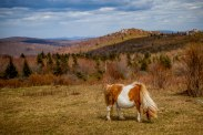 A pregnant pony at an overlook off of Rhododendron Trail at Grayson Highlands State Park, April 2017