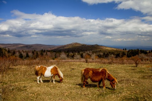 A couple of pregnant ponies at an overlook off of Rhododendron Trail at Grayson Highlands State Park, April 2017