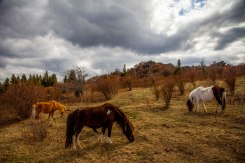 The wild ponies of Grayson Highlands graze on a grassy bald as a storm approaches, at Grayson Highlands State Park, April 2017