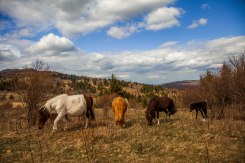 The wild ponies of Grayson Highlands graze on a grassy bald, at Grayson Highlands State Park, April 2017