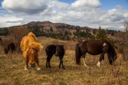 The wild ponies of Grayson Highlands play with each other as the mother eats, at Grayson Highlands State Park, April 2017