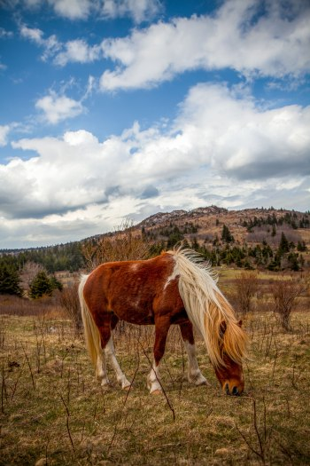 A wild pony of Grayson Highlands enjoys a grassy meal, at Grayson Highlands State Park, April 2017
