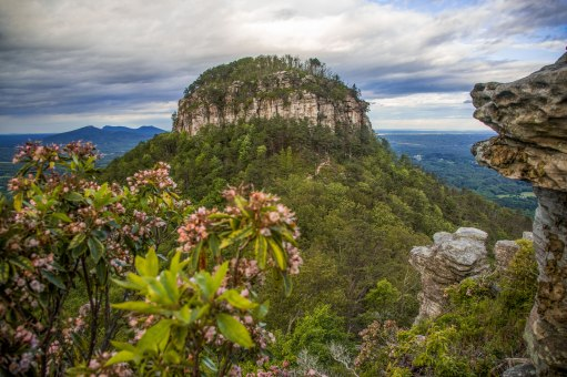 Mountain Laurel in front of Pilot Mountain and the remaining Sauratown Mountains, at Pilot Mountain, North Carolina. Captured late May 2017.