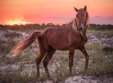 wild, stallion, corolla, nc, outer banks