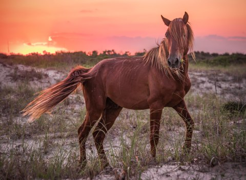 wild, stallion, corolla, nc, outer banks