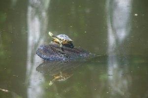 camping, kayak, paddling, platform, North Carolina, turtle