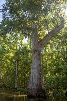 cypress, camping, kayak, paddling, platform, North Carolina