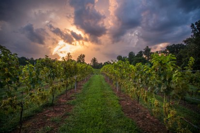 Sunset above a vineyard in North Carolina