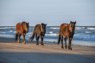 Wild horses soaked in afternoon light, trotting in front of the waves of the Outer Banks. Captured in Corolla, NC.