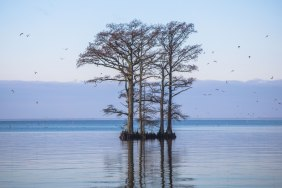 Cypress trees and seagulls in flight along the Chowan River near Edenton in North Carolina