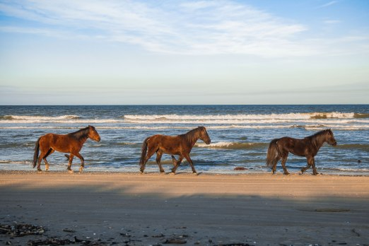 Wild horses soaked in afternoon light, trotting in front of the waves of the Outer Banks. Captured in Corolla, NC. These Colonial Spanish Mustangs roam over 7,500 acres of land, and seem to enjoy long walks on the beach. The horses and other wildlife can also be spotted along the Currituck Banks Maritime Forest Trail at the beginning of the beach (no off-roading required).