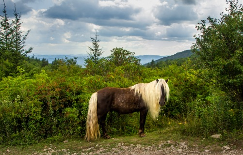 Grayson highlands, pony, wild
